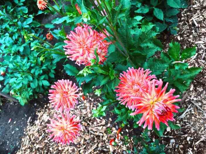 Dahlia garden in Volunteer Park in Seattle, Washington.
