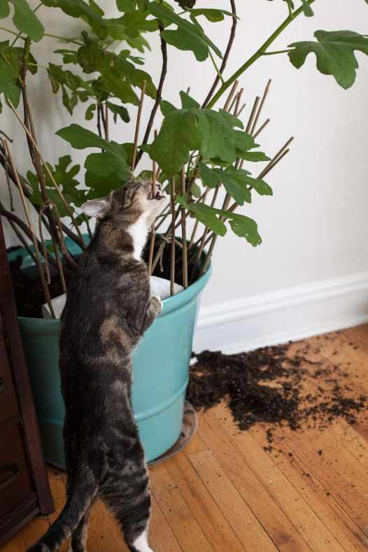 Ford cat digging in my fig tree,