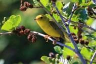pine-warbler