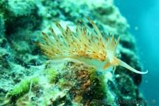 Godiva banyulensis (Facelína), potápění v Chorvatsku 1