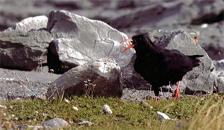 "Chough - or ""Chauvette"" in Jerriais"
