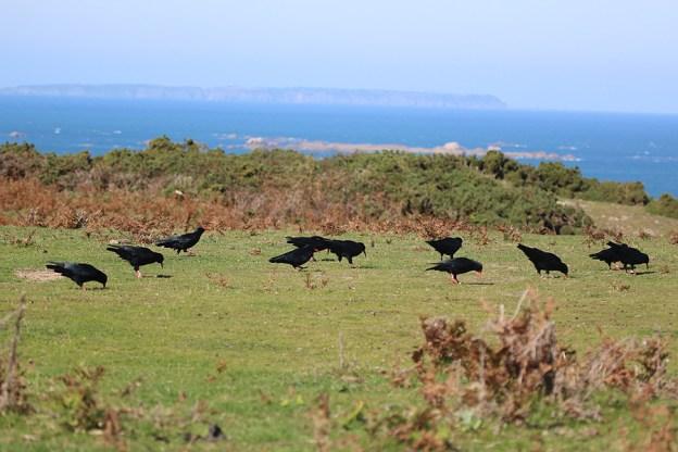 Choughs feeding in fields near release site