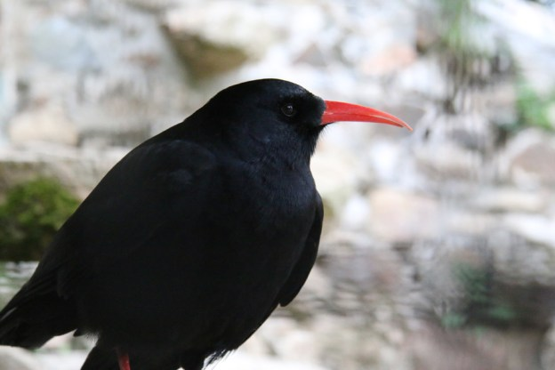 "Cornish Chough ""Piran"" (A Hales)"