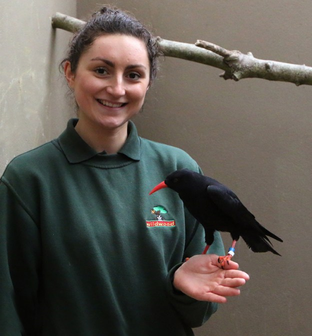 Jen Riley from Wildwood in Kent meets a chough at Paradise Park, Cornwall.