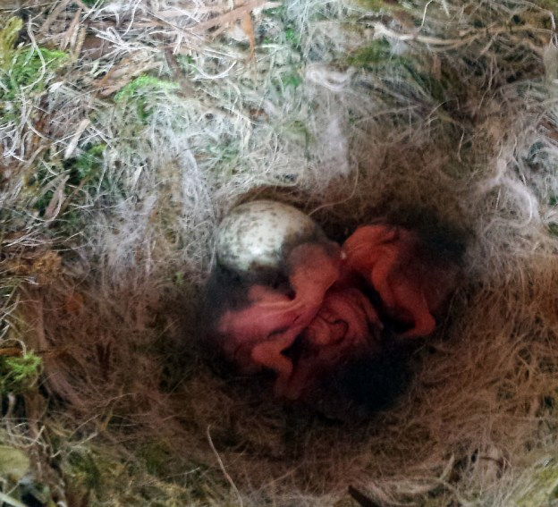 Three chough chicks just over 24 hours old