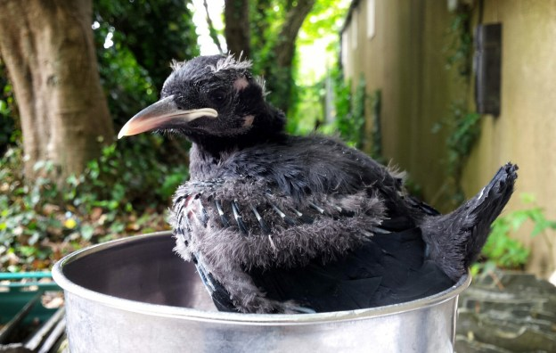 Chough chick aged 24 days being weighed.