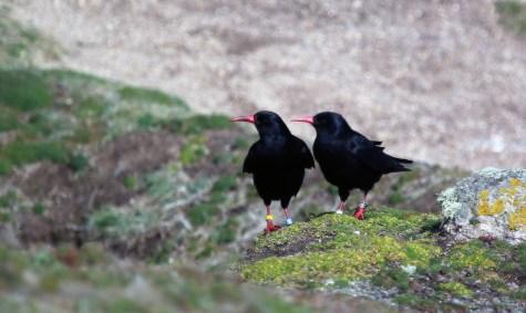 A Breeding Pair of Wild Cornish Choughs, on the Cornish Coast 2016.