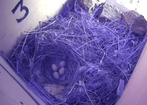 Nest number three, with a clutch of four chough eggs.