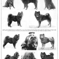 LE CHOW CHOW CHIEN A LA MODE- 1927 T'KELL'SIE CHOWS