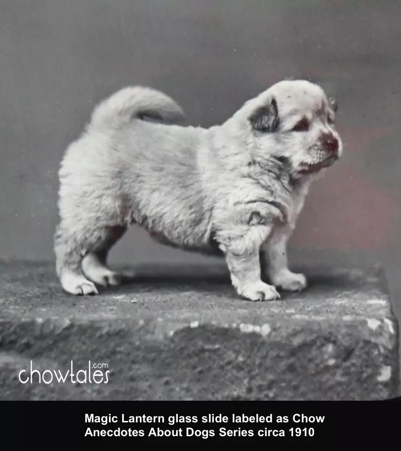 Magic Lantern Glass Slide Chow Pup Anecdotes About Dogs Series