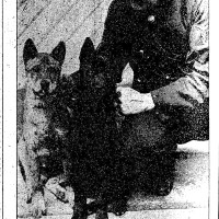 "1901 Dr. Kinyoun receives 2 smooth coated  ""Chow"" dogs  from China"