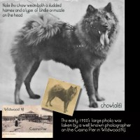 Early 1900's photo restoration reveals a chow wearing a bridle or muzzle