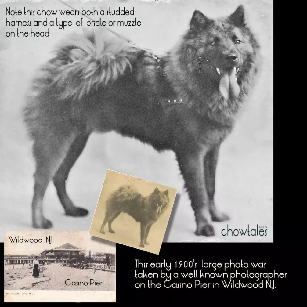 Photo restoration 1900 chow harness