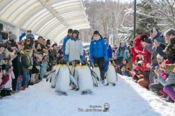 走啦!動起來企鵝 散步是為了減肥?旭山動物園 企鵝遊行
