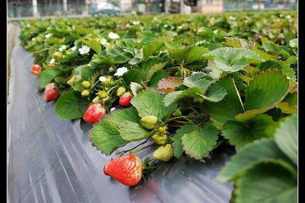(生活紀錄) 讓我們採草莓去(新埔草莓園)