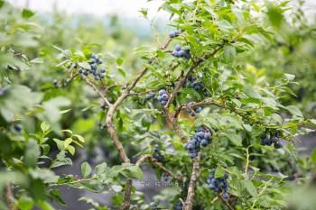 秋田趴趴走 盛夏採藍莓健康有趣@エコニコ農園