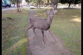 (日本奈良) 鹿群才是老大 @近畿電鐵 廣域版5日周遊票
