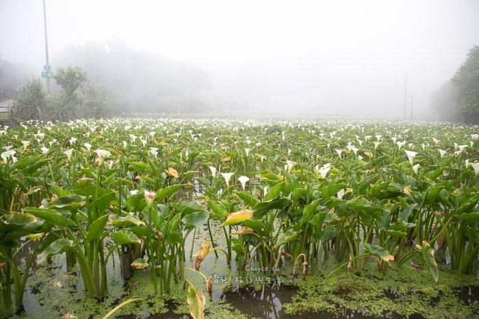 (台北好好玩) 陽明山海芋田探險採樣,自然觀察真有趣