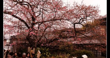 (日本) 河津桜まつり 關東最早 靜岡河津櫻開花囉!