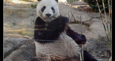 台東區 恩賜上野動物園貓熊特輯 明星商品期間限定企劃 買貓熊咖啡送貓熊鋼杯