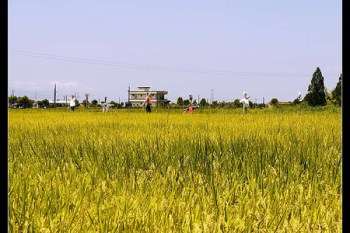 (Choyce育兒經) 生活隨處是教材--宜蘭三星鄉稻米採收有感