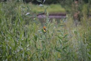 Yellow bird, Teton NP