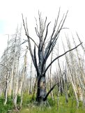 Charred tree on Mt. Darby