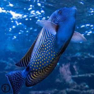 Blauer Fisch mit gelben Punkte