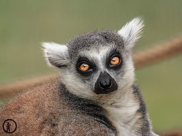 Lemure