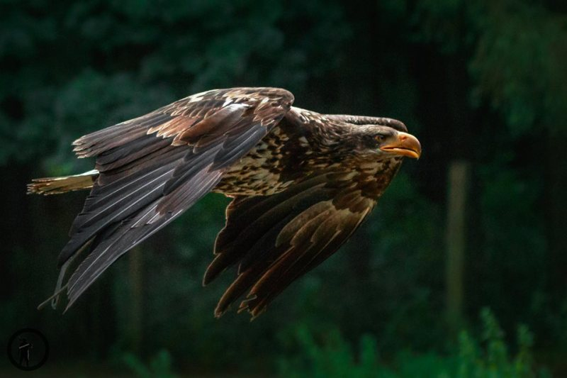 Adler in der Luft