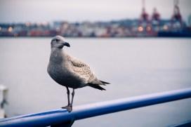 North Van seagul