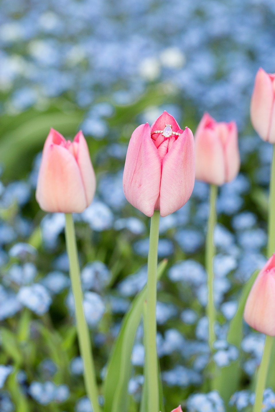 closeup of teardrop engagement ring on a pink tulip with more tulips and blue flowers in the background