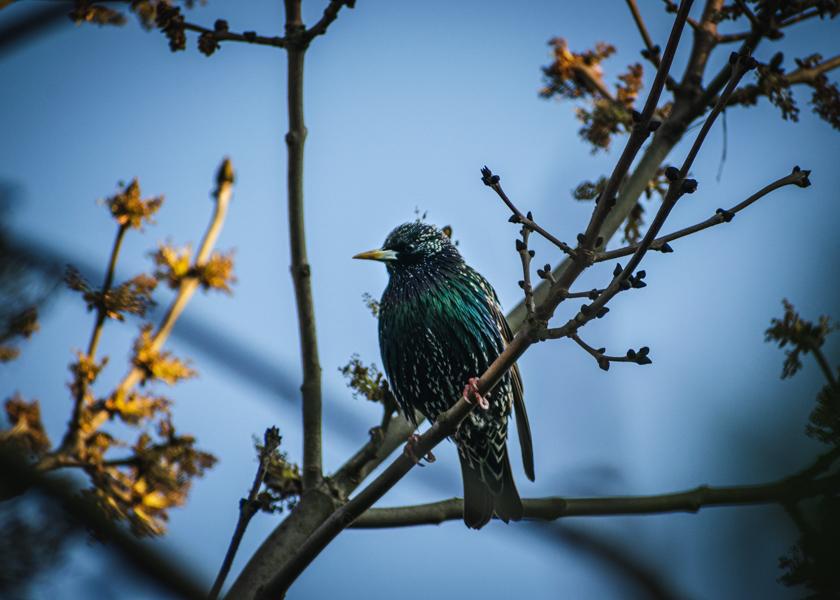 Starling bird photography