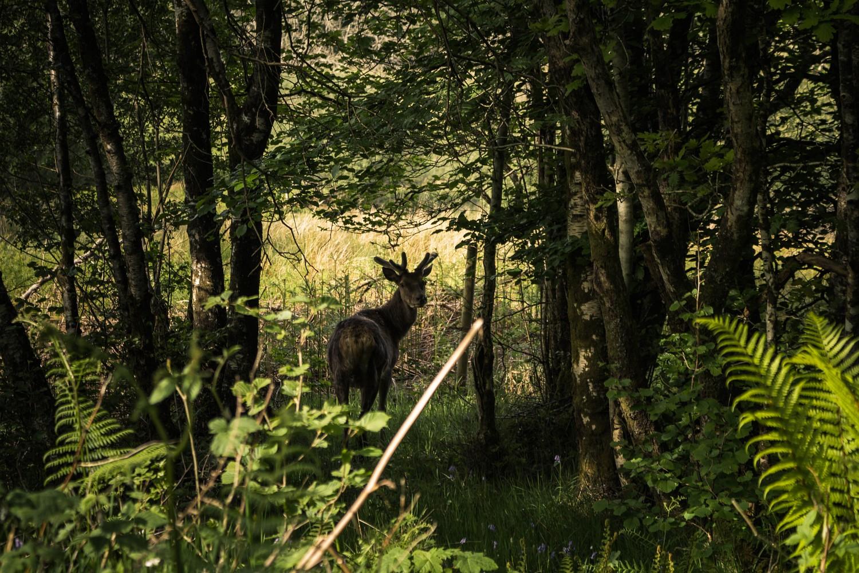 Hirsch in den Highlands
