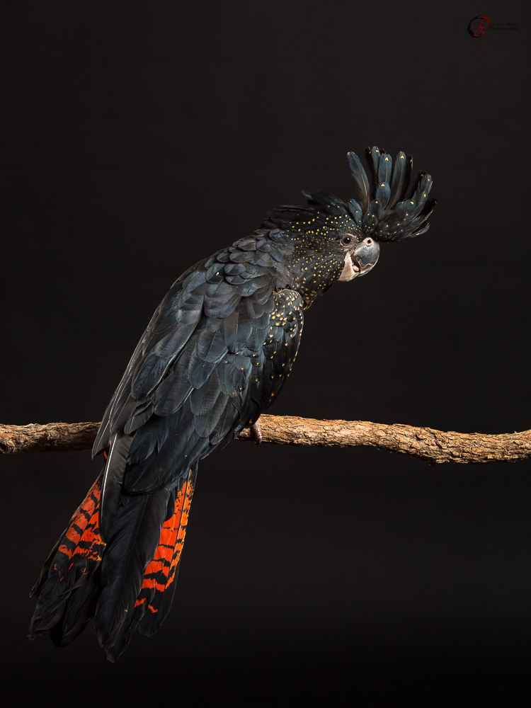 Female Red-tailed Black-cockatoo