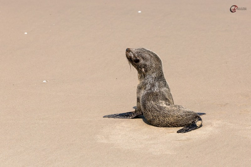 baby seal Walvis Bay