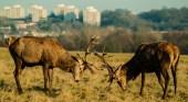 Rutting Deer Richmond Park