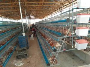 Poultry Battery Cage Sales In Nigeria
