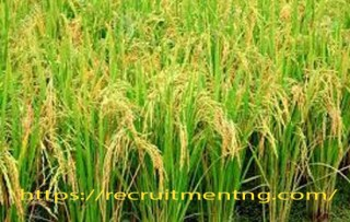 Business Plans And Feasibility Study On  Rice Production