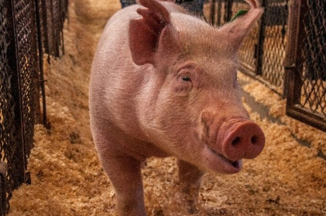 Smart Ways On Pig Farming Business - Simple Guide