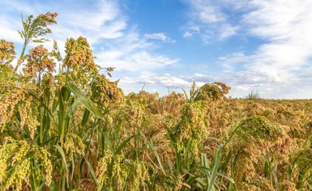 Millet Farming / Business Plans and Feasibility Study