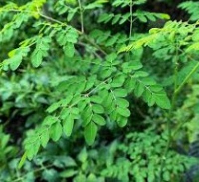 Moringa Business Plans/feasibility Study Report / Project