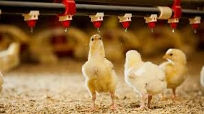 Feeding In Poultry And A Feasibility Study/Business Plan