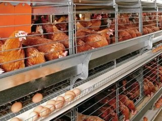 Poultry Farming Business Plan Feasibility Report