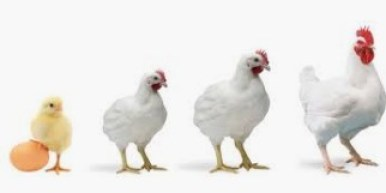 Some Diseases And Vaccination / Routine Treatment In Poultry Busines