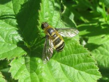 Villa cingulata, a bee fly.