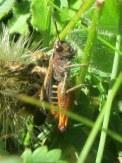 Woodland grasshopper