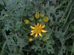 Ragwort flowering on the Ruscombe railway bridge, Berkshire