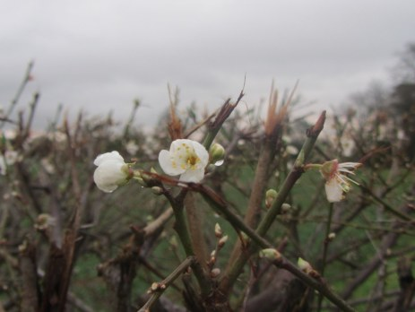 An over-enthusiastic plum which was brutally flailed earlier in the winter!