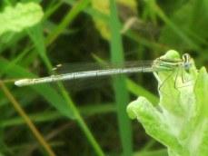 White-legged damselfly female